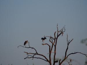 P4247225 - Maraboes Chobe NP