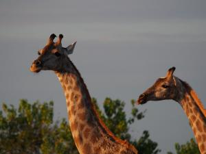 P4247232 - Giraffen Chobe NP