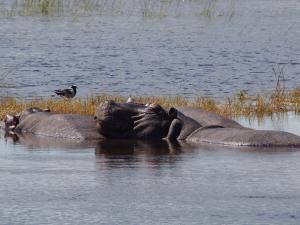 P4257350 - Happy hippo Chobe NP