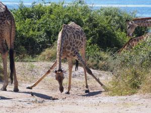 P4257384 - Lastig bukken als giraffe Chobe NP