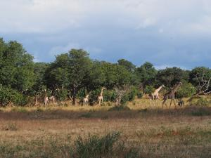 P4257415 - Giraffen zover het oog strekt Chobe NP