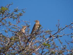 P5128351 - Onbekende vogels Nxai Pan NP