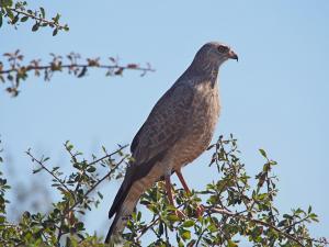 P5128381 - Obekende roofvogel Nxai Pan NP