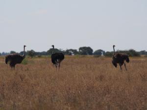 P5128404 - 'Struisvogels Nxai Pan NP
