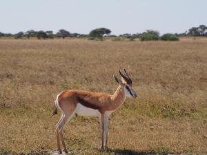 P5128430 - Springbok Nxai Pan NP