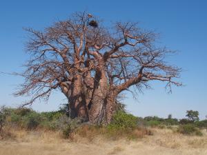 P5138629 - Greens Baobab