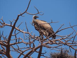 P5138634 - Kaapse gier in Greens Baobab