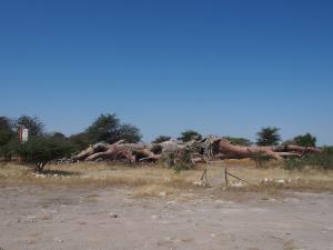 P5138670 - Chapmans Baobab