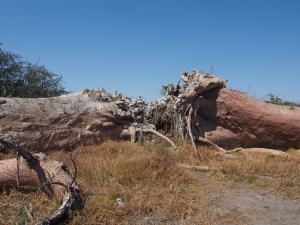 P5138673 - Chapmans Baobab
