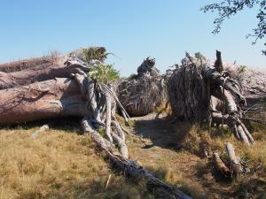 P5138683 - Chapmans Baobab