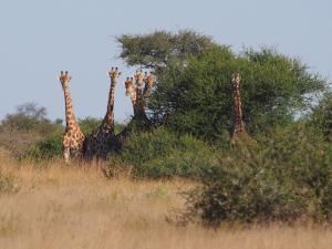 P5158928 - Driekoppige giraffe CKGR