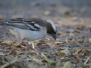 P5158934 - Wevervogel CKGR