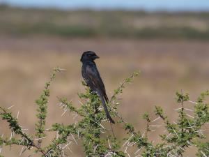 P5168969 - Treurdrongo CKGR