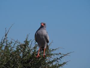 P5169014 - Onbekende roofvogel CKGR