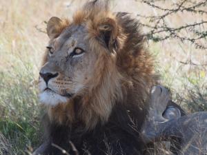 P5169103 - Kalahari leeuw CKGR