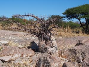 P5189207 - Mini baobab Kubu Island