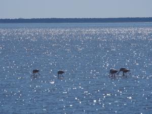 P5190014 - Flamingos bij Kukonje Island