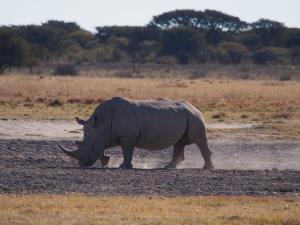 P5230135 - Witte neushoorn Khama Rhino Sanctuary