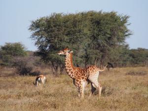 P5230184 - Onhandig overeind komen, Khama Rhino Sanctuary