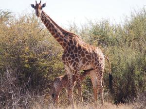 P5240313 - Drinkend giraffejong Khama Rhino Sanctuary