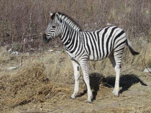 IMG 0202 - Mini Burchells zebra Etosha NP