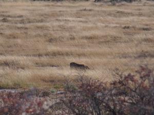 P6131401 - Wrattenzwijn,leeuw of hyena, wie weet het