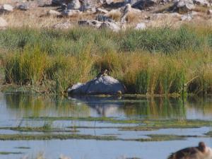 P6131584 - Schildpadjes (goed kijken), Etosha NP