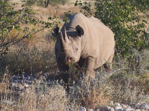 P6131663 - Zwarte neushoorn Etosha NP