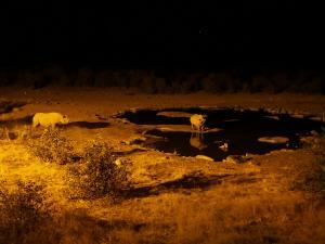 P6131683 - Zwarte neushoorns Etosha NP