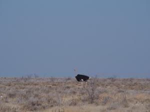 P6141821 - Struisvogel Etosha NP