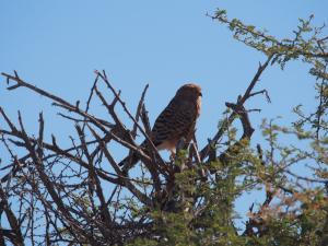 P6141841 - Onbekende roofvogel Etosha NP