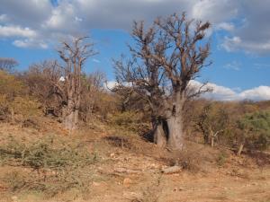 P6192055 - Baobabs