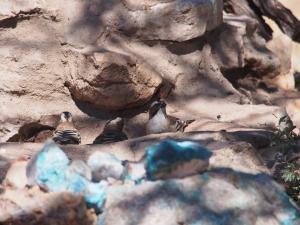 P6202079 - Wevervogels bij Camp Aussicht