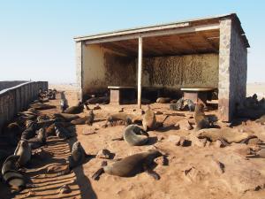 P6252467 - Kaapse pelsrobben Cape Cross