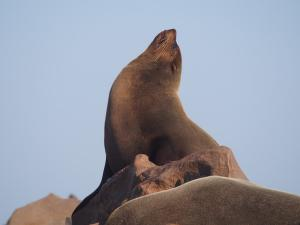 P6252494 - Kaapse pelsrob Cape Cross