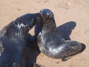 P6252496 - Kaapse pelsrobben Cape Cross