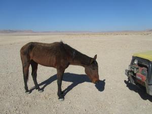 IMG 0579 - Uitgemergelde woestijnpaard onderweg naar Luderitz