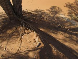 IMG 0460 - Ondiepe boomwortels Narravlei