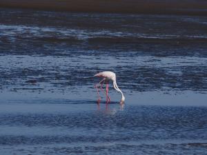 P6282665 - Dubbele flamingo Walvisbay