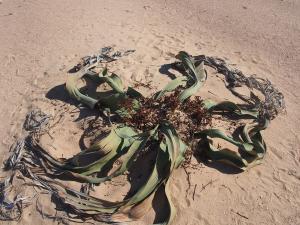 P6282734 - Plant Welwitschia Plain