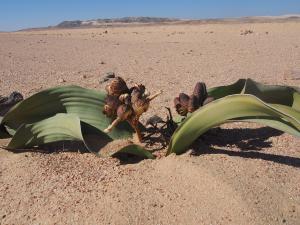 P6282744 - Vrouwelijke plant Welwitschia Plain
