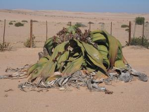 P6282761 - Grootste Welwitschia plant