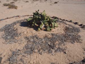 P6282764 - Plant Welwitschia Plain