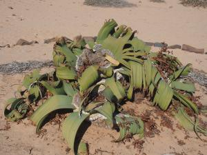 P6282765 - Planten Welwitschia Plain