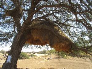 IMG 0911 - Sociale wevervogelnest