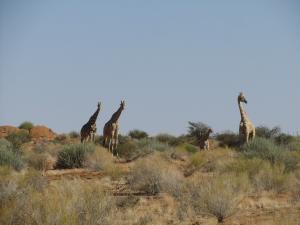 IMG 1183 - Giraffen Augrabies NP