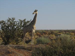 IMG 1210 - Giraffe Augrabies NP