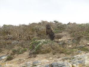 IMG 1606 - Bavianen bij Kaap De Goede Hoop