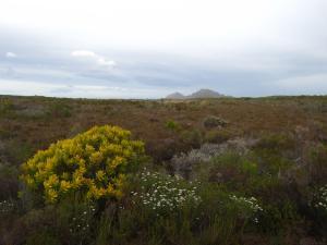 IMG 1633 - Fynbos Kaap De Goede Hoop