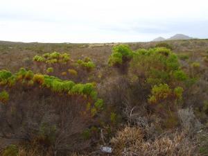 IMG 1634 - Fynbos Kaap De Goede Hoop
